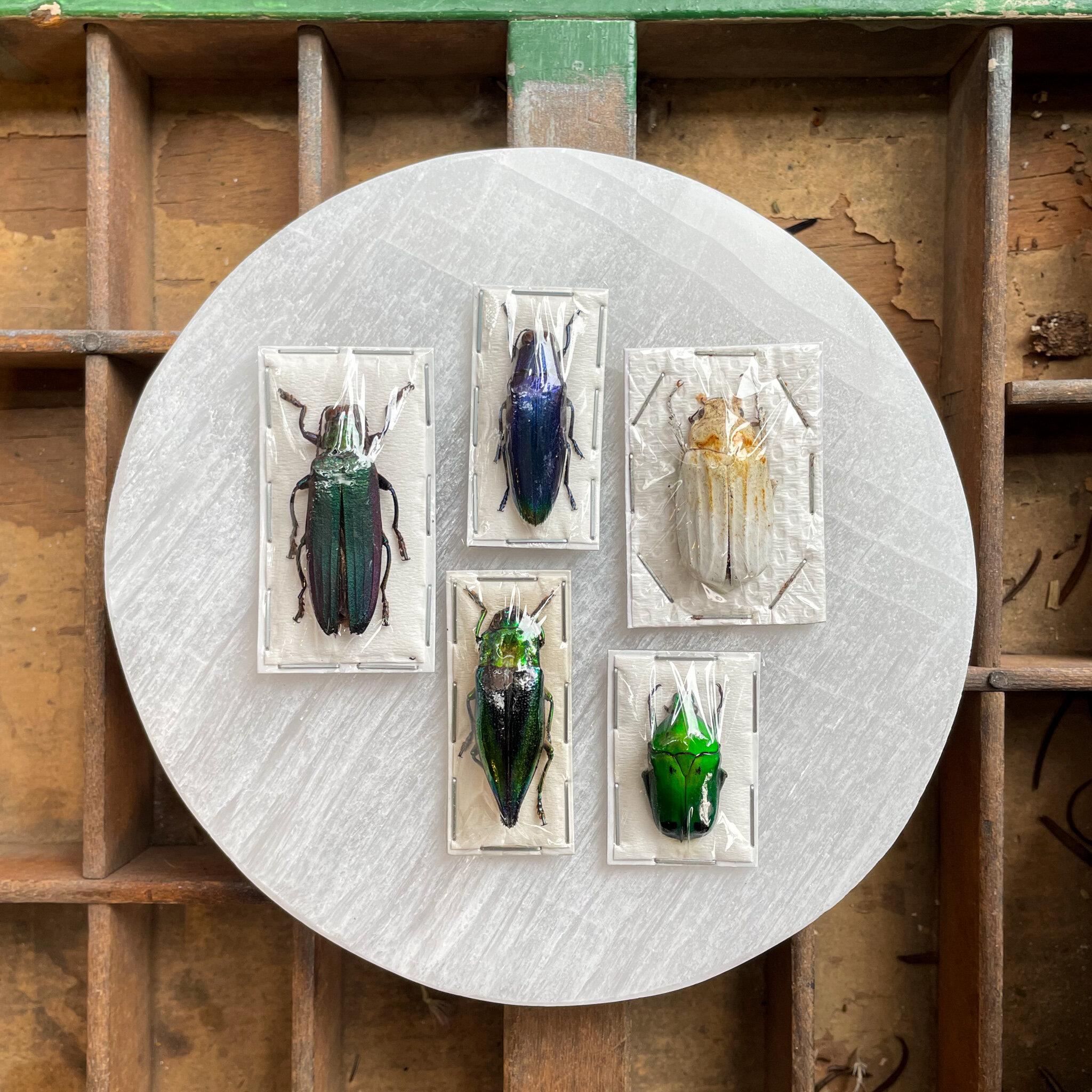 Beetle jewels 481259